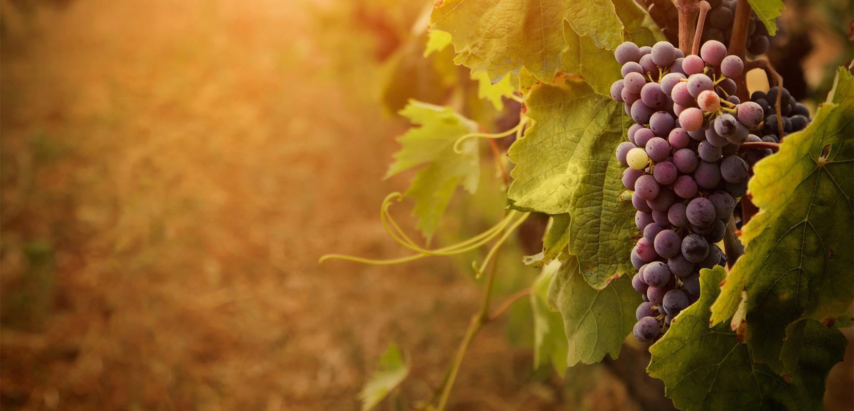 Slider_Grape_Vine_2