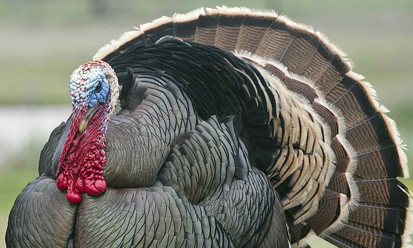 Is Turkey Kosher